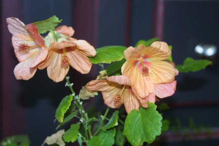 Aubutilon - Flowering Maple