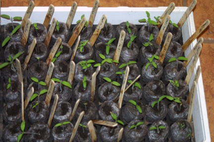 Tomato Seedlings - 2 weeks