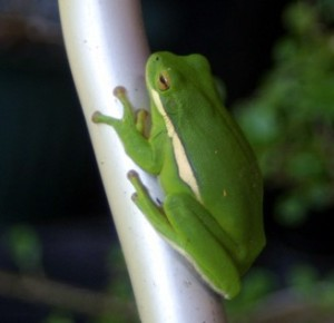 Freda Frog