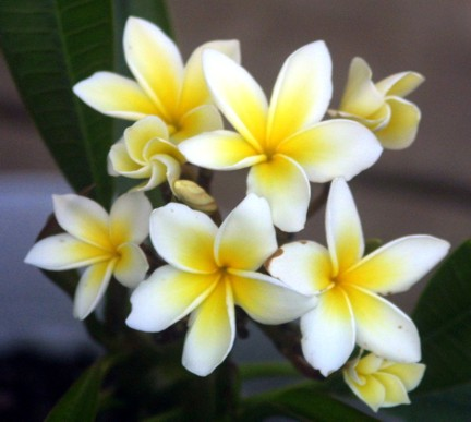 My first flowering Plumeria