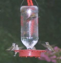 Hummingbirds humming