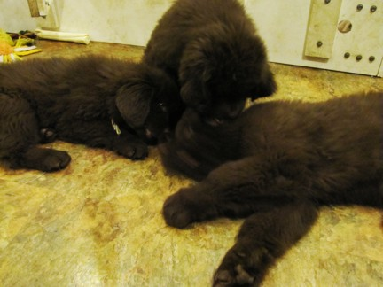 Cute Newfie Puppies