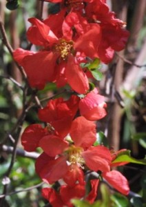 Red and Gold Quince