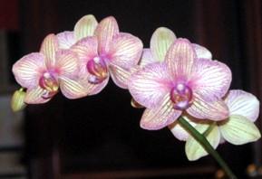 Phalaenopsis 'unknown'