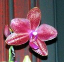 Phalaenopsis Lauren Blau 'Hugs & Kisses'
