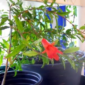 Pomgranate