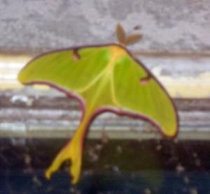 Iridescent Moth