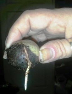 Avocado taproot